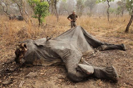 Un sommet africain annonce des mesures d'urgence pour protéger les éléphants