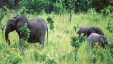 Gabon: Le WWF lance lundi prochain une campagne internationale contre le braconnage des éléphants