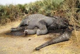 """65% des éléphants de forêt d'Afrique centrale tués, WWF dénonce un """"crime"""" organisé"""