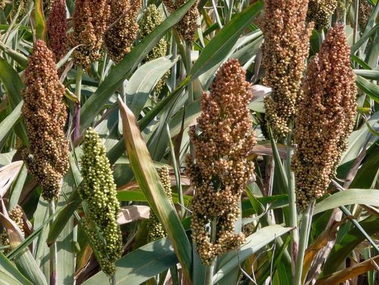 Sahel : la production céréalière brute estimée à 54,6 millions de tonnes