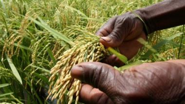 Agriculture : démarrage d'un Projet en faveur d'une politique semencière cohérente