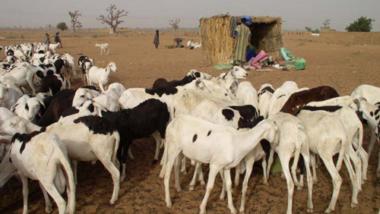 Tchad : les autorités municipales s'inquiètent de la qualité et la santé des moutons à l'approche de Tabaski
