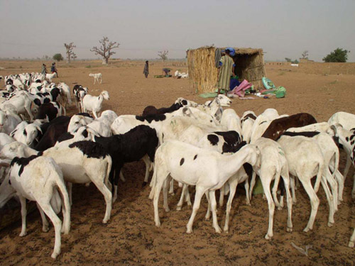 Tabaski : crise de trésorerie à N'Djamena les moutons ne craignent rien