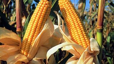 Un chercheur kényan développe une nouvelle variété de maïs