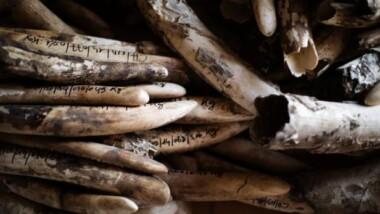 Tchad: le président Déby détruit plus de 500 défenses d'éléphants