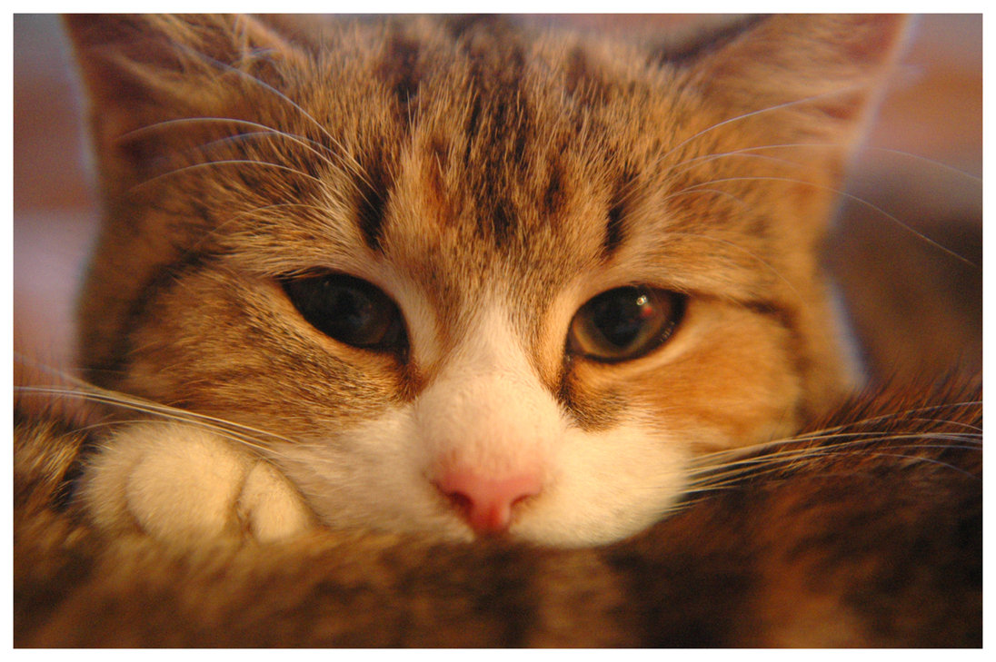 Insolite : l'Australie veut tuer 2 millions de chats errants