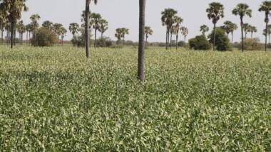 Sécurité alimentaire : Seeds for Solutions appuie les réfugiés soudanais et autochtones à l'Est du Tchad
