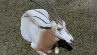 Tchad : 25 oryx algazelles rapatriés des Émirats arabes unis