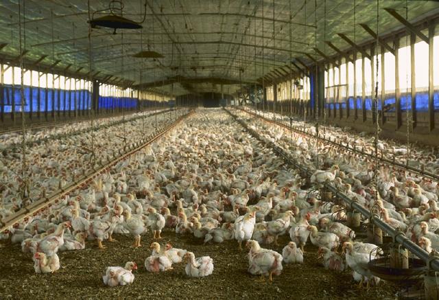 Santé : le Tchad interdit l'importation des œufs et des poulets de chair