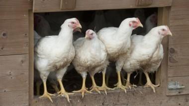 Grippe aviaire : le Gabon suspend l'importation de la volaille du Cameroun