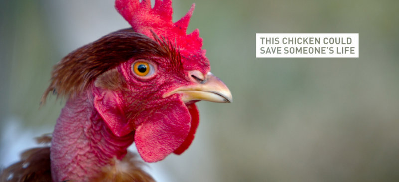 Bill Gates offre des poulets pour lutter contre la pauvreté en Afrique sub-saharienne