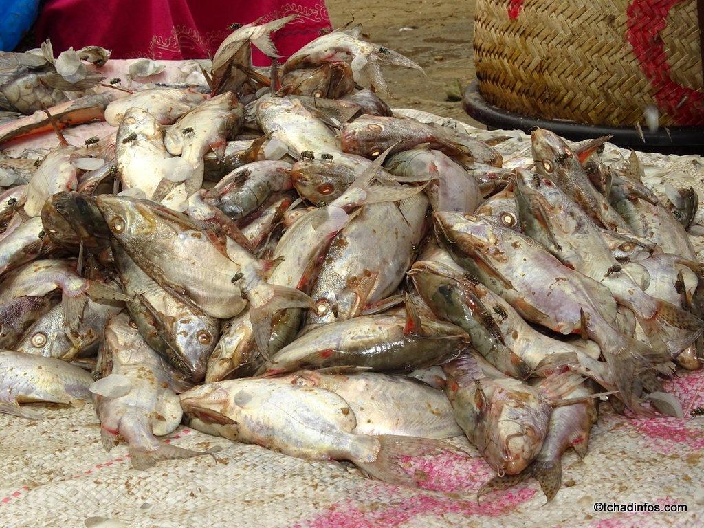 """Le poisson de saison """"Garga"""" rare et cher"""