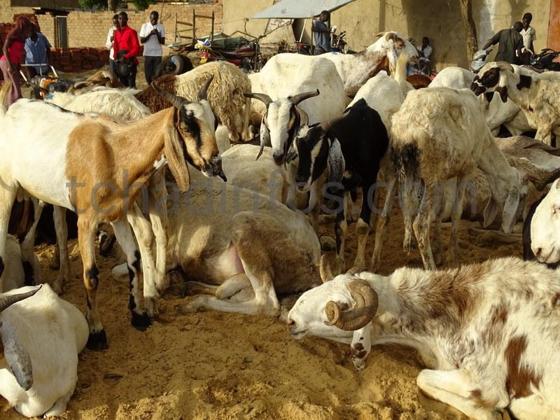 Tabaski : des moutons à vil prix, mais pas d'acquéreurs
