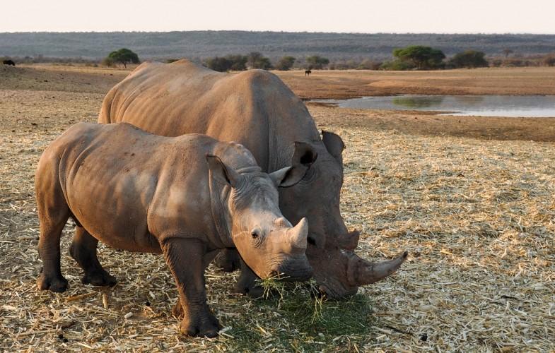 Des pays africains dévoilent un plan d'action pour protéger les rhinocéros