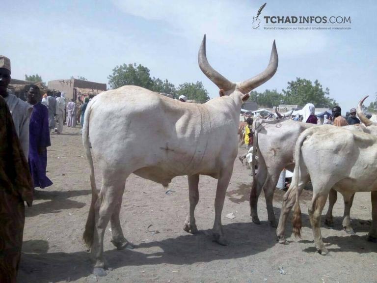 Economie : exportation du bétail sur pieds, une perte pour l'économie nationale
