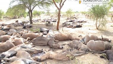 Tchad : plus de 300 000 cas de mortalité des équidés sont notifiés