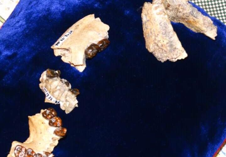 L'hominidé Abel rentre au Pays de Toumaï