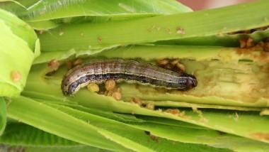 Agriculture: La chenille légionnaire est présente au Tchad