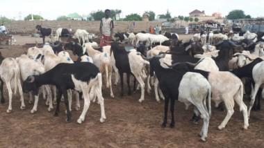 Tabaski : Les prix des moutons sont relativement abordables à N'Djamena