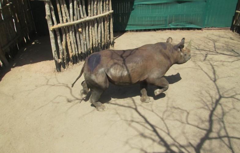 Tchad : quatre des six rhinocéros noirs réintroduits au Parc national de Zakouma sont morts