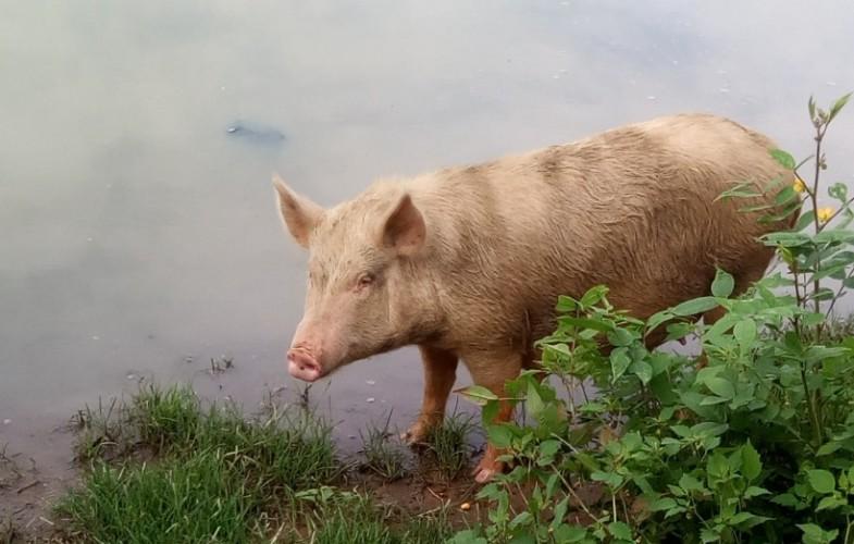 Peste porcine africaine: plus de cas signalé à N'Djamena depuis fin septembre