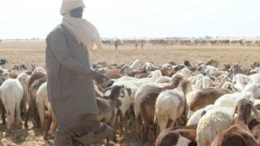 Tchad : plus de 12 millions d'animaux seront vaccinés contre 2 pathologies contagieuses