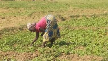 Tchad : les cultures vivrières, l'autre activité que mènent les femmes