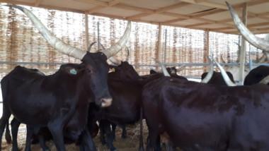 Bœufs Kouri, zébus Boro… L'élevage bien présent au Safagri