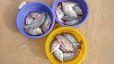 Société: vente de poisson frais, concurrence… quand les hommes arrachent le marché aux femmes