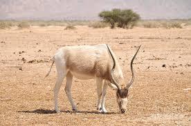 15 addax réintroduits dans la faune tchadienne