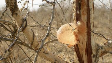 Tchad : la douane ré-autorise l'exportation de la gomme arabique et du sésame en attendant un arrêté conjoint des ministères des finances et du commerce