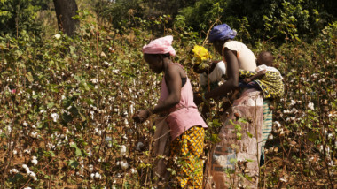 Tchad : la campagne agricole des cotonculteurs sauver de justesse