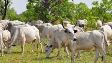 Coronavirus: la Fao appuiera les éleveurs de la province du Wadi Fira