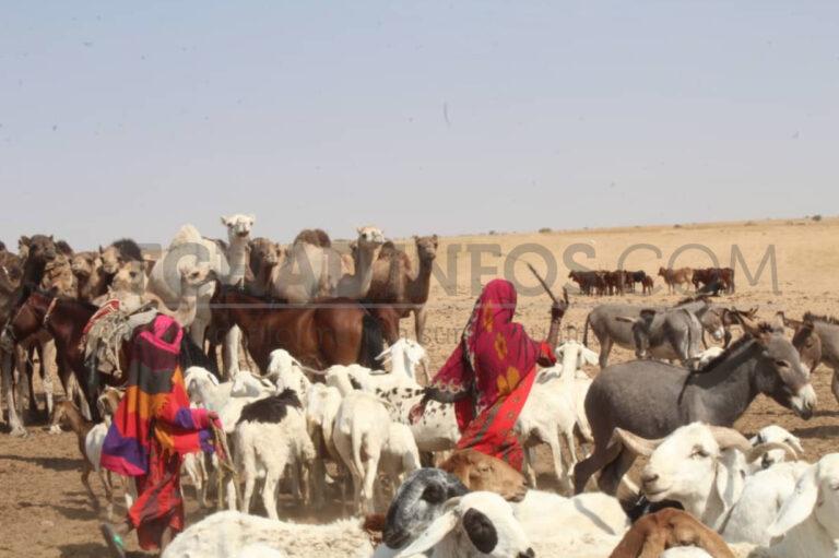 Économie : l'élevage tchadien, ses maux et ses perspectives