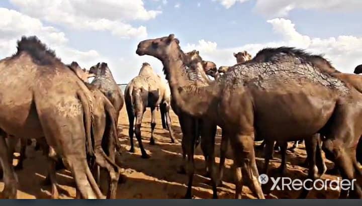 Tchad : une maladie d'origine inconnue tue les chameaux